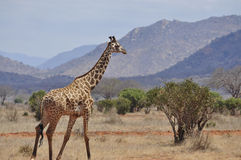 Giraffe walking Africa Stock Images
