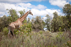 Giraffe Walking In Africa Royalty Free Stock Photography