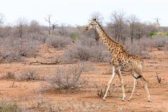 Giraffe walking through an African landscape Royalty Free Stock Image