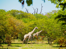 Giraffe walking in african savanna. Group of giraffe walking in african savanna on sunny day with leaves foreground Stock Images