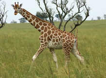 Giraffe walking through african savannah Royalty Free Stock Photography