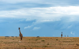 Giraffe walking. On the African savannah on a cloudy day stock photography