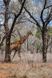 Giraffe Walking in the African Savannah, South Africa Royalty Free Stock Image