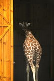 Giraffe. Walking into a barn Stock Photography