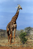 A Giraffe Walking Through The Bush Royalty Free Stock Image