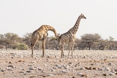 Giraffe walking in the bush on the desert pan. Wildlife Safari in the Etosha National Park, the main travel destination in Namibia Royalty Free Stock Photos