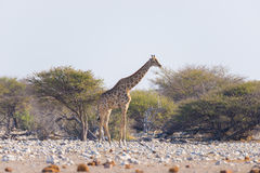 Giraffe walking in the bush on the desert pan. Wildlife Safari in the Etosha National Park, the main travel destination in Namibia Royalty Free Stock Image