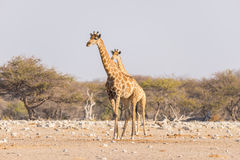 Giraffe walking in the bush on the desert pan. Wildlife Safari in the Etosha National Park, the main travel destination in Namibia. Africa. Profile view stock photo