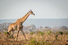 Giraffe walking in the bush Royalty Free Stock Image