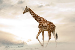 Giraffe walking in desert Stock Image