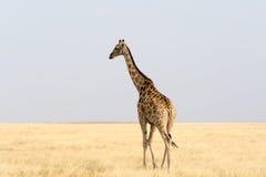 Giraffe walking through the desert Stock Photo