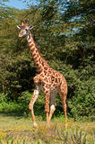 Giraffe Walking in the Forest stock image