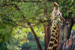Giraffe in forest Stock Image