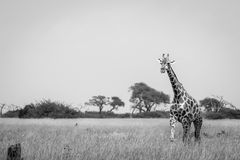 A Giraffe walking in the grass in black and white. Royalty Free Stock Photos