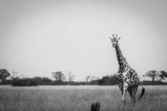 A Giraffe walking in the grass in black and white. Stock Photos
