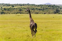 Giraffe walking through the grasslands. Masai Mara; Kenya Stock Image