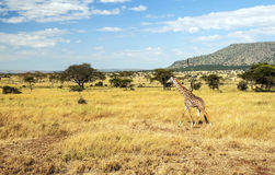 Giraffe walking Royalty Free Stock Photos