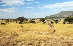 Giraffe walking Royalty Free Stock Photos