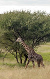 Giraffe walking Royalty Free Stock Photography