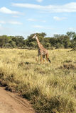 Giraffe walking Stock Photo