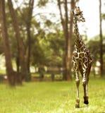 Giraffe walking on the green grass field Stock Image