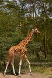 Giraffe walking. In Nakuru National Park, Kemya Royalty Free Stock Photo