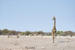 Giraffe walking near lions lying down on the ground. Wildlife safari in the Etosha National Park, main tourist attraction in Namib. Ia, Africa Royalty Free Stock Photos
