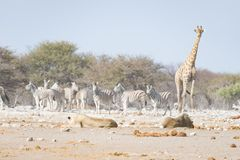 Giraffe walking near lions lying down on the ground. Wildlife safari in the Etosha National Park, main tourist attraction in Namib. Ia, Africa Stock Photo