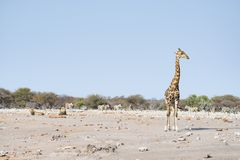 Giraffe walking near lions lying down on the ground. Wildlife safari in the Etosha National Park, main tourist attraction in Namib. Ia, Africa Stock Image