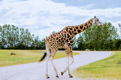 Giraffe walking Royalty Free Stock Photo