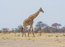 Giraffe Walking stock image