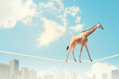 Giraffe walking on rope Royalty Free Stock Photography