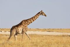 Giraffe walking in the savanna. Of Etosha National Park Royalty Free Stock Photo
