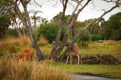 Giraffe. Walking through the savanna on a safari ride Stock Photography