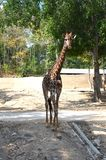 Giraffe walking in the shade at the zoo. Full-length giraffe. Front view royalty free stock image