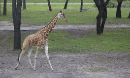 Giraffe walking Royalty Free Stock Photography