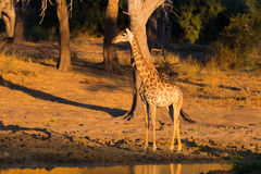Giraffe walking towards waterhole at sunset. Wildlife Safari in the Mapungubwe National Park, South Africa. Scenic soft warm light Stock Images