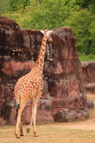 Giraffe walking in zoo Stock Photography