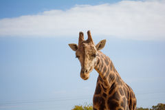 Giraffe. Walks towards the camera with his head down Royalty Free Stock Photography