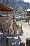 The giraffe walks in the zoo. The giraffe is going through one of the European zoos on a sunny summer day Royalty Free Stock Images