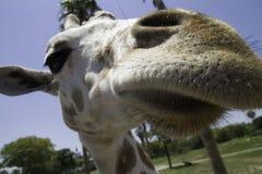 Giraffe at Bush Gardens, Florida Royalty Free Stock Images