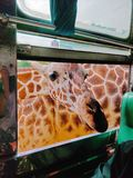The giraffe was rewarded with a snack when it poked its head through a car window. Using for wallpaper or web background stock images