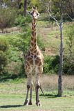 Giraffe Watching Me. Giraffes are found in the dry savannas of Africa, where they roam among the open plains and woodlands. Well known for their long necks Royalty Free Stock Image