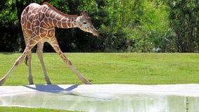 Giraffe & Water Stock Photography
