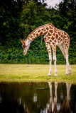 Giraffe by the water Royalty Free Stock Images