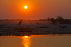 Giraffe at the water at sunset Stock Photography