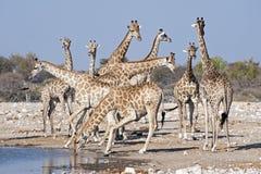 Giraffe at  a waterhole Stock Images