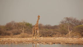 Giraffe at waterhole stock video