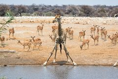 Giraffe at a waterhole with impalas etosha Royalty Free Stock Photo