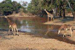 Giraffe am waterhole, Sambia, Afrika Lizenzfreies Stockbild